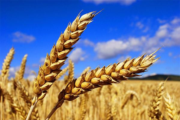 Интересные факты о пшенице