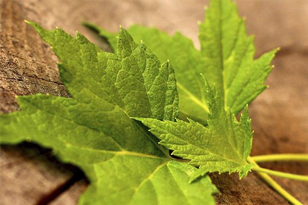 Полезные свойства листьев красной смородины