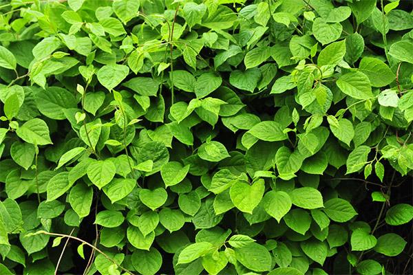 Полезные свойства листьев лимонника