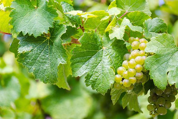 Польза листьев винограда
