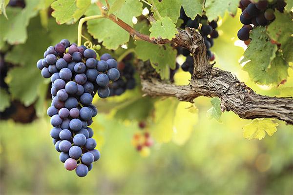 Виноград в медицине