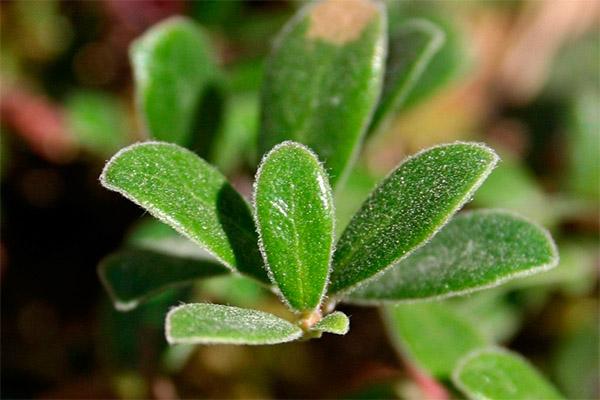 Лечебные свойства листьев толокнянки