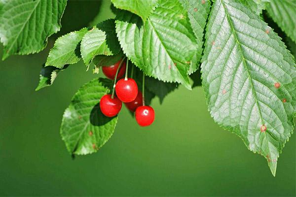 Польза и вред листьев вишни