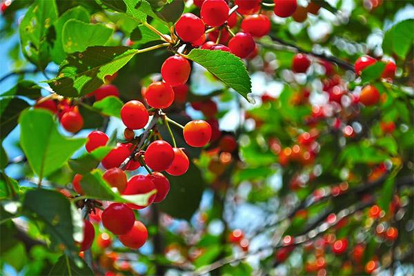 Рецепты народной медицины на основе вишни