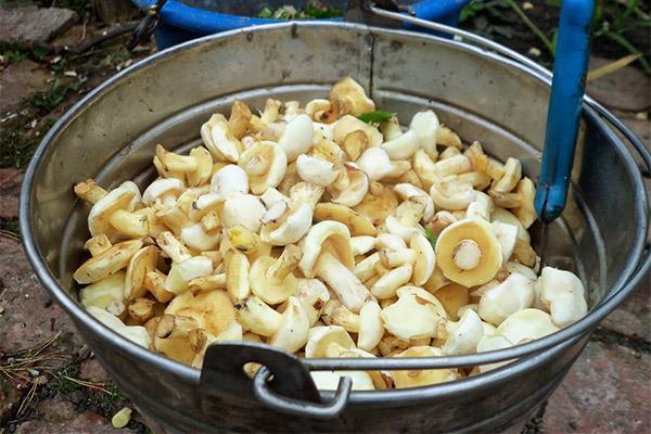 Как чистить грибы маслята