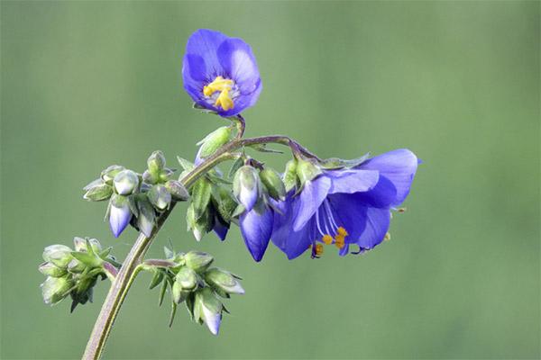 Лечебные свойства синюхи голубой