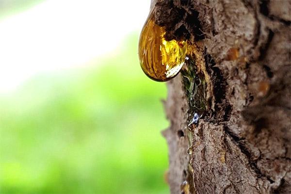 Лечебные свойства сосновой живицы