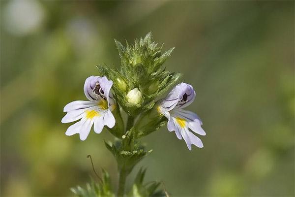 Лечебные свойства травы очанки
