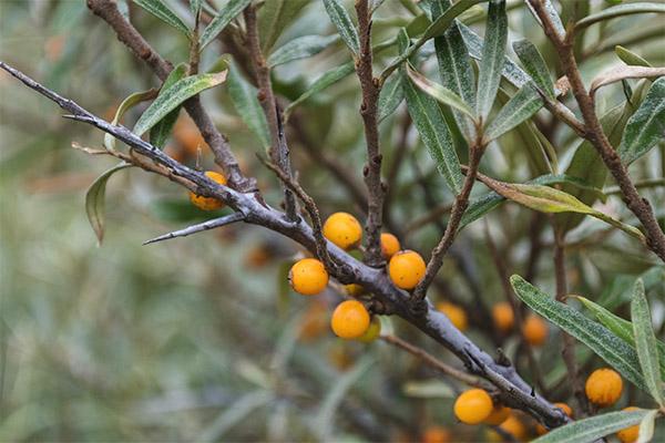 Полезные свойства листьев облепихи