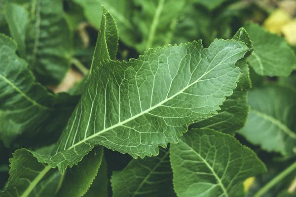 Применение листьев хрена в косметологии