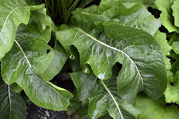 Противопоказания к применению листьев хрена
