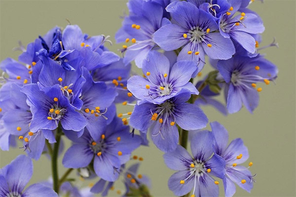 Виды целебных составов с синюхой голубой