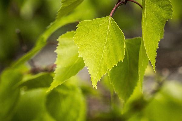 Лечебные свойства листьев березы