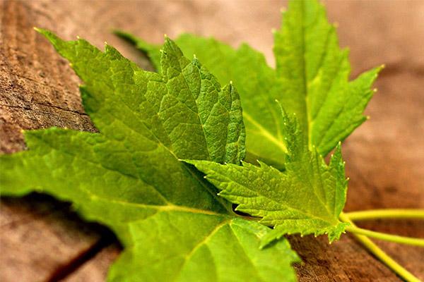 Лечебные свойства листьев смородины