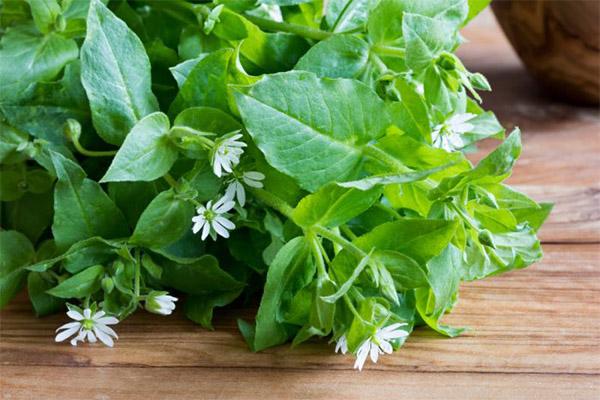 Лечебные свойства травы мокрицы
