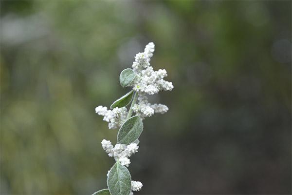 Лечебные свойства травы шерстистой эрвы