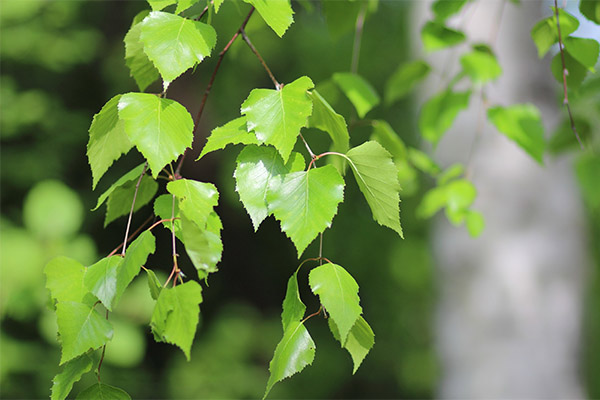 Применение березовых листьев в косметологии