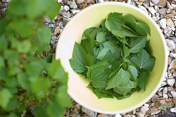 Применение листьев смородины в косметологии