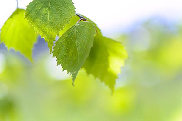Противопоказания к применению березовых листьев