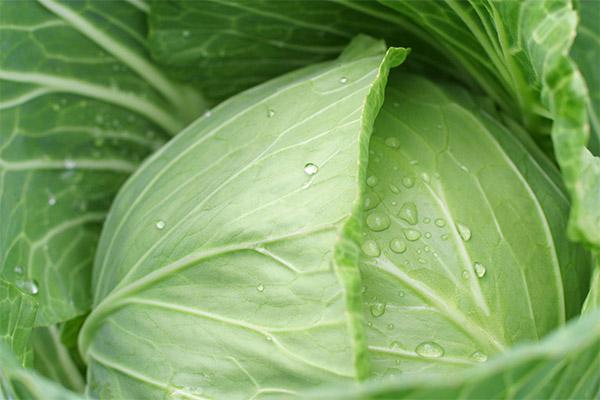 Противопоказания к применению капустного листа