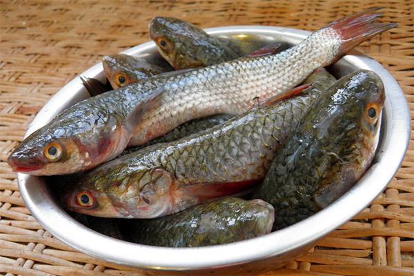 Полезные свойства рыбы кефаль