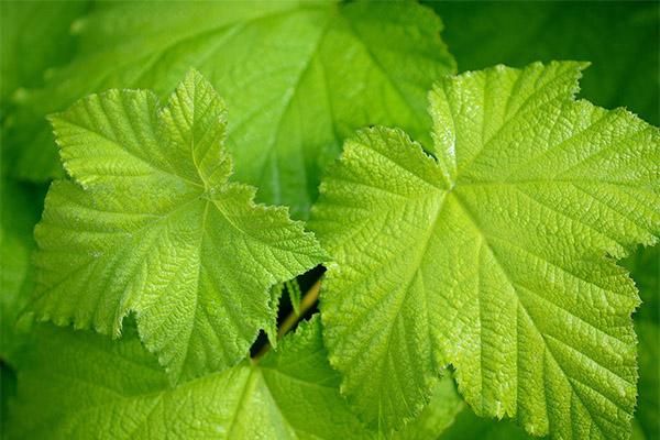 Применение виноградных листьев в народной медицине