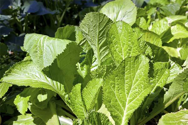 Использование горчичных листьев в народной медицине