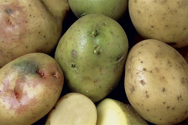 Можно ли есть зеленую картошку